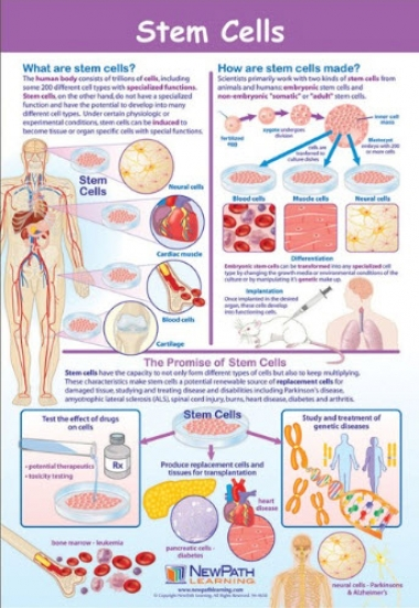 Stem Cells Poster, Laminated